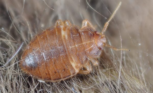 bed bug adult